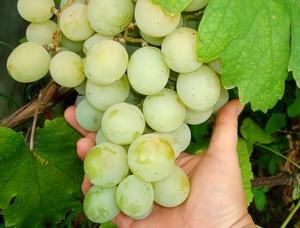 Как посадить виноград кеша
