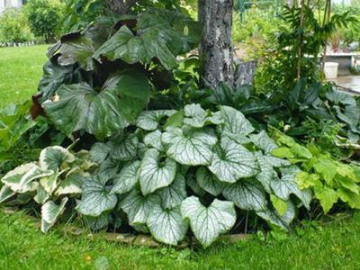 Крупнолистная бруннера уход и выращивание в саду