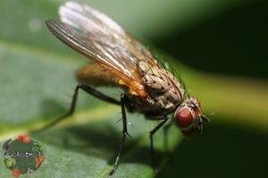 Как обрабатывать культуры от луковой мухи