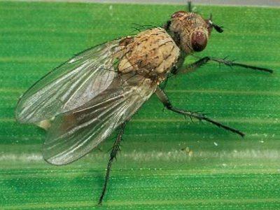 Луковая муха как бороться с опасным вредителем