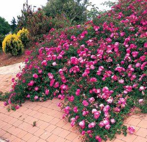 Самые популярные сорта роз