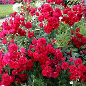 Уход за покровными розами