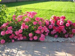 Как посадить покровные розы
