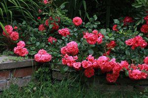 Как вырастить почвопокровные розы
