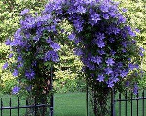 Плетущиеся цветы для сада многолетние 46