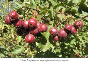 Где используются ягоды боярышника