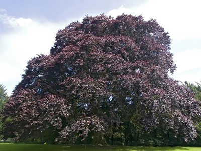 Бук дерево лист