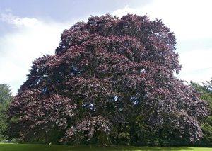 Дерево Бук Красный