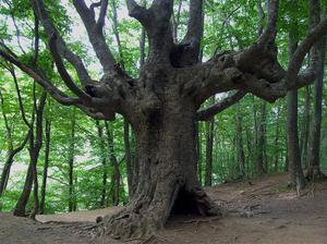 Бук - дерево долгожитель