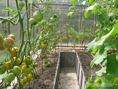 Как ухаживать за помидорами в теплице
