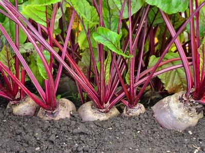 Секреты выращивания свеклы в открытом грунте. Особенности выращивания и ухода за свеклой в открытом грунте