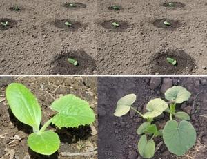 Как высадить рассаду кабачков