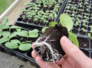 Как посадить кабачки на рассаду