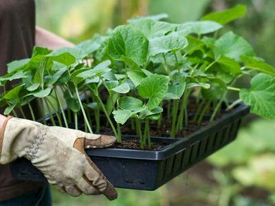Как правильно посадить на рассаду кабачки: как подготовить семена и грунт, как вырастить, правильно за ней ухаживая