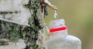 Как собирать сок березовый
