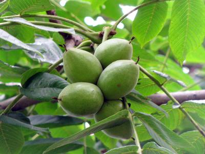 Посадка, правильный уход, выращивание и применение маньчжурского ореха