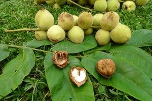 Маньчжурский орех плоды