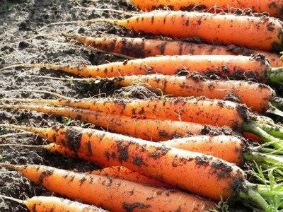 Как правильно сажать морковь на ленте