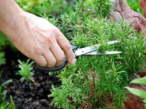 Вечнозеленое растение розмарин в условиях Подмосковья