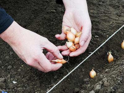 Как правильно сажать репчатый лук-севок