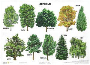 лиственные деревья виды