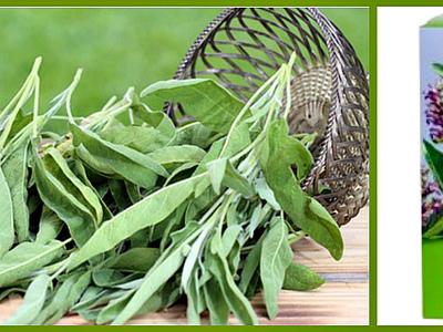 Трава шалфей: применение в гинекологии