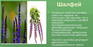 Свойства растения шалфея