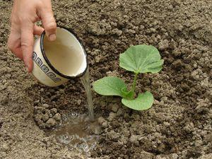 Как посадить тыкву
