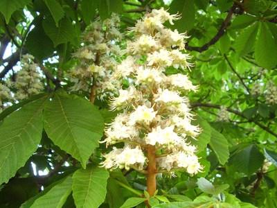 Каштан дерево описание