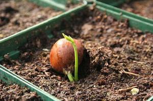 Особенности выращивания декоративного каштана
