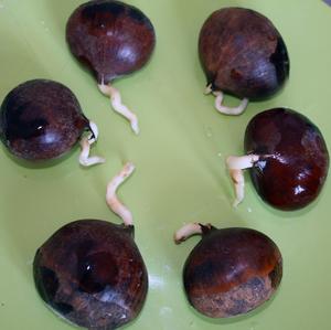 как правильно посадить семя каштана