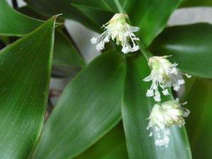 Дихоризандра или золотой ус - ценное лекарственное растение