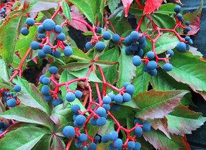Как формировать куст дикого винограда