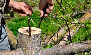Привой при прививке дерева
