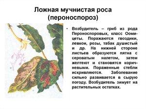 muchnistaya_rosa.jpg
