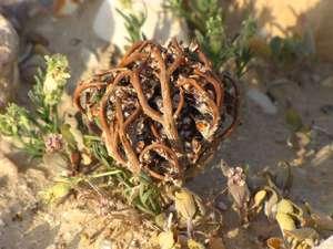 Растение иерихонская роза