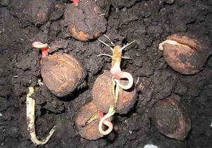 Как подготовить плоды грецкого ореха для посадки