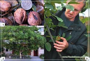 Как защищать дерево грецкого ореха