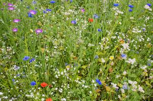 Фото и описание луговых цветов