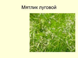 Как используется растение мятлик