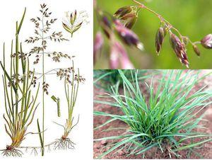 Описание растения мятлик