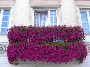 Использование петунии для украшения балкона
