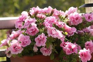 Как добиться цветения петунии