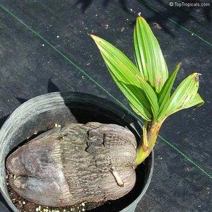 Проросший кокосовый росток