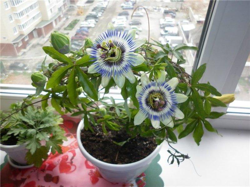 Выращивание маракуйя из семян в домашних условиях 83