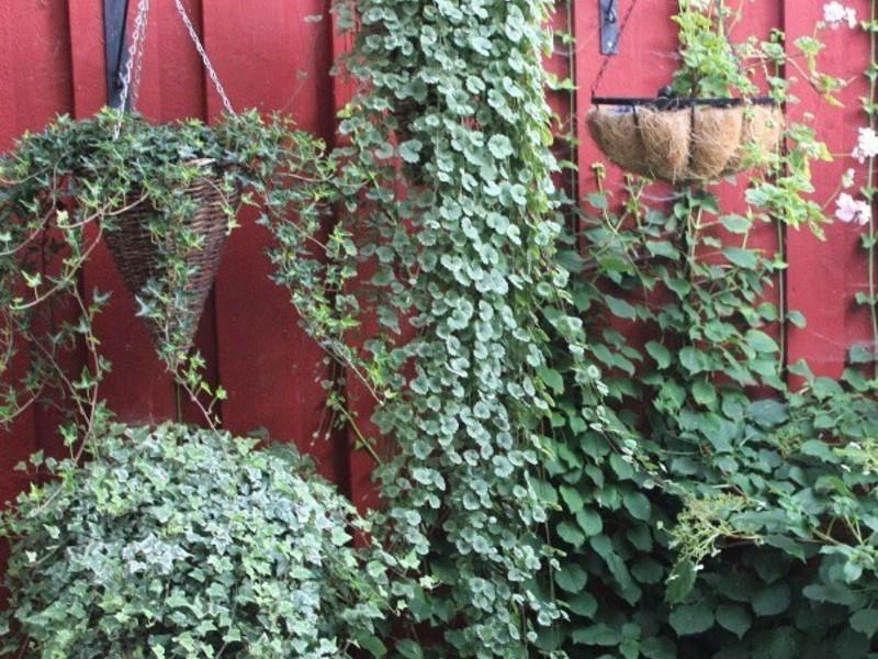 Секреты выращивания дихондры 21