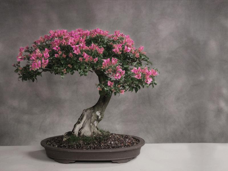 Декоративная сакура выращивание дома 55