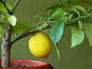 Способы прививки лимона
