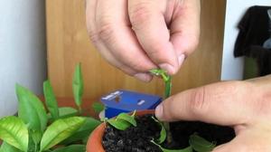 Методы прививки растения лимон дома