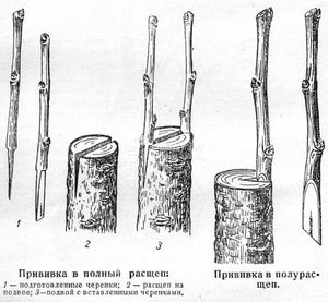 Схема прививки лимонного черенка в расщеп подвоя